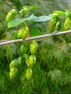 Hops - we'll have some of these for Dh's home brew on the property this year!
