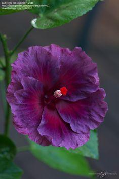 Tropical Hibiscus 'Vin Extraordinaire' (Hibiscus rosa-sinensis)