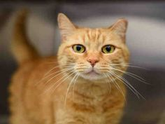 4/27/16 SL- SYLVIA - ID#A201512  I am a spayed female, orange tabby Domestic Shorthair.  The shelter staff think I am about 13 years old and I weigh approximately 7 pounds.  I am a Silver Whisker!  I have been at the shelter since Mar 02, 2016. Western Pennsylvania Humane Society 1101 Western Avenue Pittsburgh, PA 15233 Phone Number: (412) 321-4625 Animal Shelter, Animal Rescue, All About Cats, Losing A Pet, Humane Society, Beautiful Creatures, Pet Adoption, Cats And Kittens, Pittsburgh Pa