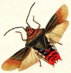 Hemiptera wing - Google 검색