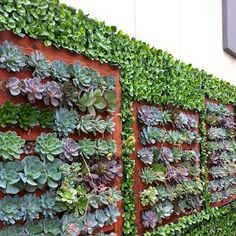 Hello Google+ Friends, Hybrid Living Wall Follow Up...my, my! Remember about a month ago, Geranium Street installed our gorgeous #hybridlivingwall in San Diego? Bob (my boss) went down there recently to follow up and see how everything's going...and low and behold, It is more beautiful than ever!