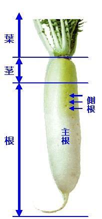 大根の根と茎とは???』 | 大根, 茎