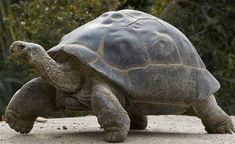Although Galápagos tortoises are huge animals that weigh several hundred pounds, their shells are not solid. Instead, they are made up of honeycomb structures that hold small air chambers. This makes the shell lighter and easier for the tortoise to carry. Animals Of The World, Animals And Pets, Wood Turtle, Russian Tortoise, Giant Tortoise, Fun Walk, Extinct Animals, San Diego Zoo, Animal Projects