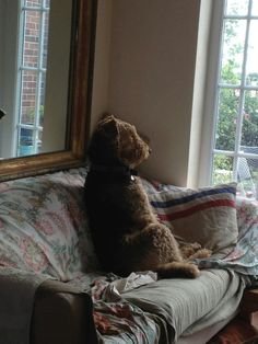 Airedale Edie in contemplation
