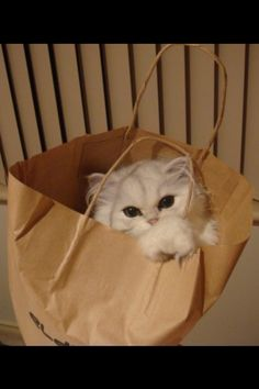 #cat #animal   Our cute persian chinchilla, Tabitha