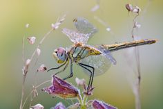 Morning Dragonfly by Dmitry Monastery