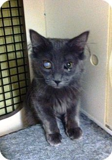4/9/14 East Meadow, NY - Domestic Shorthair. Meet Emily a Kitten for Adoption.   I am already spayed and up to date with shots.  Emily's Story...  Emily is a sweet Russian Blue kitty! She loves other cats, especially Roger who she's hoping to be adopted with. She is 4 months old as of 4/2/14. Come visit her!