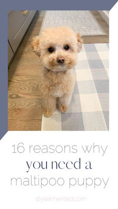 Want a Maltipoo Puppy? Here are 16 reasons to add one to the family. Ranger my apricot maltipoo puppy is the perfect side-kick. Find out more about her and her reputable breeder's information here! #maltipoo #teacuppup #teddybearpuppy