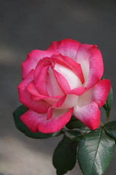 Is Endless ❤️ Flower Images, Flower Pictures, Botanical Flowers, Silk Flowers, White Roses, Pink Roses, Beautiful Roses, Beautiful Flowers, Rare Roses