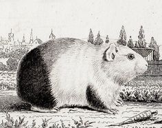 buffon print guinea pig - Google Search
