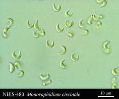 Monoraphidium circinale