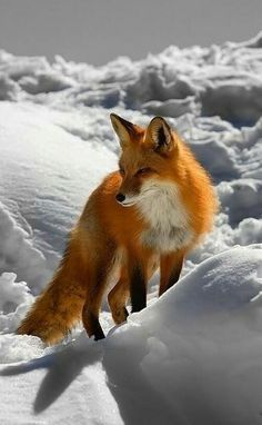 Red fox animal photography ❤️