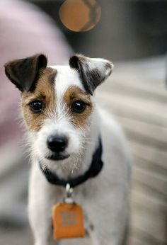 Wire-haired Jack Russell Terrier~maybe what our Mickey, RIP, looked like before we adopted him, aawww Jack Russell Terriers, Chien Jack Russel, Parson Jack Russell, Jack Russell Puppies, Parson Russell Terrier, Terrier Breeds, Rat Terriers, Terrier Dogs, Pet Dogs