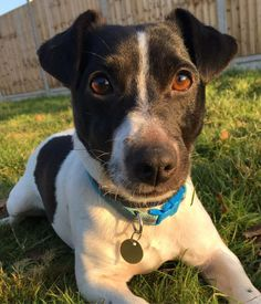 Hey! My name is Pippin and I am a very handsome man searching for my perfect forever home! I am a Jack Russell, around 3-4 years old and I have a lot of love to give.I have been showing the humans here how brilliant, clever and charming I can be. I was a little nervous when I first arrived and felt a bit lost but I've really started to get my confidence back and I'm ready and raring to get started in my new home! I am a terrier, through and through! I have been absolutely loving gett...