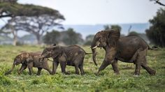 Staggering Elephant Conservation Numbers From World Elephant Day