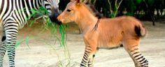 """È nato uno """"zonkey"""": l'incrocio tra una zebra e un asino - Video http://www.digita.org/e-nato-uno-zonkey-lincrocio-tra-una-zebra-e-un-asino-video/ #zonkey #animali #news Il 21 aprile scorso, nello zoo di Reynosa, in Messico, è nato uno zonkey, ovvero un raro incrocio tra una zebra e un asino. Il cucciolo, che è stato chiamato Khumba, ha le gambe a righe ed il manto marrone: sua madre è una zebra di nome Rayas, suo padre un asino albino di nome..."""