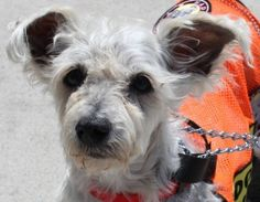 Suzie is an adoptable West Highland White Terrier Westie Dog in Staten Island, NY. Suzie is an 8 year old Westie / Poodle mix. Her owner passed away and she needs a new home. Suzie is very friendly. S...