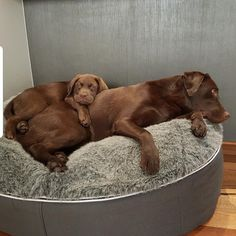 """See our website for even more information on """"golden retrievers"""". It is a great location to find out more. Rottweiler Puppies, Lab Puppies, Cute Puppies, Cute Dogs, Love My Dog, Chocolate Labrador Retriever, Labrador Retriever Dog, Bull Terriers, Schnauzers"""