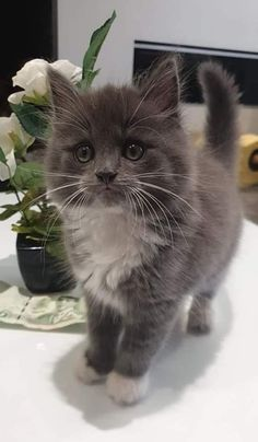 New Photos Cats and Kittens baby Tips You have come to the proper place if you're searching for fun, engaging and exciting Cats and Kitt Cute Fluffy Kittens, Cute Cats And Kittens, Baby Cats, Cool Cats, Kittens Cutest, Fluffy Cat, Pretty Cats, Beautiful Cats, Animals Beautiful