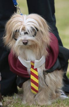 Hairy Pawter at Dogwarts: pet dogs dressed as Harry Potter characters