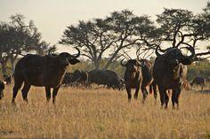 Afrikascout - Bueffelherde im Chizarira Nationalpark Safari, Namibia, Africa, Animals, Zimbabwe, National Forest, Animales, Animaux, Animal