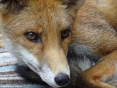 Foxes are frequent visitors to Dora's garden, where she is able to get…