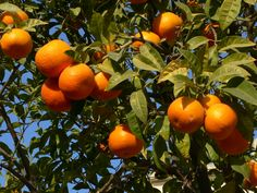 What type of soil do #OrangeTrees grow in? #Gardening #Landscaping http://homeguides.sfgate.com/type-soil-orange-trees-grow-in-48729.html