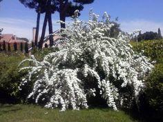 Espirea del Japón (Spiraea cantoniensis) Al comienzo de primavera la floración de esta espirea cubre totalmente la planta, sin llegar a verse hojas o ramas. El porte arqueado de sus ramas es mas evidente cuando se cubre de flores, siendo particularmente atractivo. Tolera cualquier tipo de suelo siempre que esté en un lugar soleado.