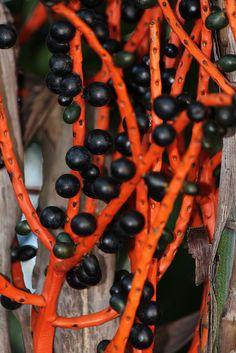 Infructescence of Chamaedorea seifritzii, the bamboo palm