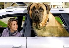 The World's largest Dog Breeds.. Follow the pic for the complete list