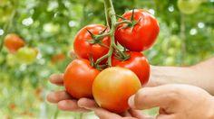 Helpoimmillaan perunat ja tomaatit voi kasvattaa ruukuissa. Copyright: Shutterstock. Kuva: Shutterstock.