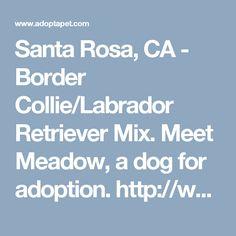 Santa Rosa, CA - Border Collie/Labrador Retriever Mix. Meet Meadow, a dog for adoption. http://www.adoptapet.com/pet/17583002-santa-rosa-california-border-collie-mix
