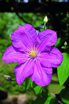 """Af Jytte Boch. Clematis 'Comtesse de Bouchaud' blomstrer fra juni til september. Bliver 3-4 m. Tilhører gruppe 3.  Type 3 -- prune to 6-12"""". Blooms on new wood. dnb"""