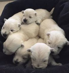 Litter of 6 West Highland White Terrier puppies Westie Puppies For Sale, Rottweiler Puppies, Baby Puppies, Baby Dogs, Dogs And Puppies, Maltese Puppies, Chihuahua Dogs, Pet Dogs, West Highland Terrier Puppy