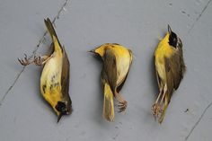Mesmerizing Photos Of Dead Birds, Killed By Our Cities