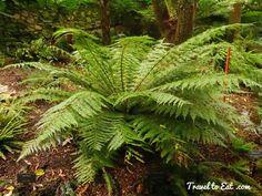 Lastreopsis acuminata (Shiny Shield Fern). Fern Garden. Wellington Botanic Gardens. Wellington, New Zealand