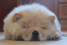 Polo the Chow 20 | Flickr - Photo Sharing!