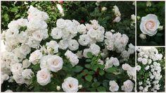 Rose Aspirin - Wohnen und Garten Foto