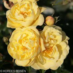 Rose Sunny Rose - Поиск в Google