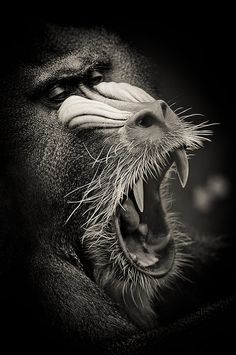Mandril by Valter Patrial / Lion Photography, Wild Animals Photography, Ugly Animals, Animals And Pets, Animal Original, Animals Black And White, Animal Wallpaper, African Animals, Nature Animals