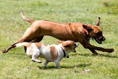 Almost every month it seems, an injury occurs with the dog in and off leash playing environment. These injuries can be minor but all too often such injuries can be quite severe. In fact even fatalities do occur. Dogs of very different body sizes should play separately because different sized dogs have varying styles of play. It is suggested that dogs weighing up to 25 pounds should play together. In fact it might be a good idea to create a doggy playgroup for those weighing up to 10 pounds.