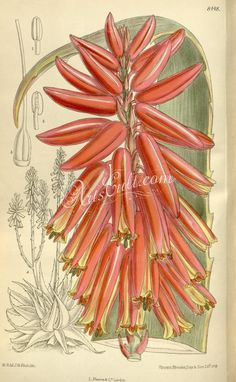 The Biodiversity Heritage Library works collaboratively to make biodiversity literature openly available to the world as part of a global biodiversity community. Botanical Drawings, Botanical Illustration, Family Illustration, Aloe, Lily, Flowers, Illustrations, Image, Cape Town