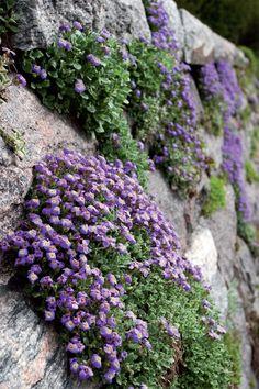 Tarharistikki (Aubrieta x cultorum) on parhaimmillaan kivimuurien koristekasvina. Mätäsmäiset sini- tai punaliilat kukat loistavat toukokuussa.