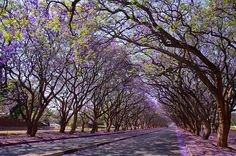 Jacarandas on Milton Avenue, Harare (Shutterstock) Bloomin' Gorgeous! It's Jacaranda Season in Africa Enchanted Tree, Tree Tunnel, Blooming Trees, Tulip Fields, Tree Line, Cool Places To Visit, Wonders Of The World, The Row, Scenery