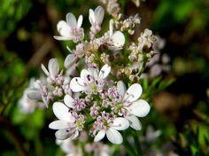 고수, Coriandrum sativum L.