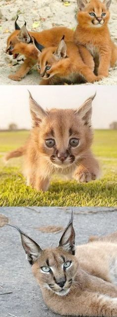 This Wild Cat Is Called A Caracal is the highest longest jumper in entire catfamily when compare in terms of size.