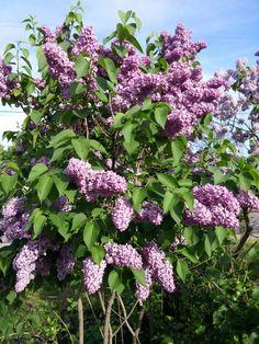 Lilacs after rain