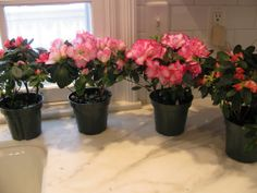 Potted Azalea Centerpieces-place in a bucket or hollowed out piece of wood or glass bowl or antique bowl