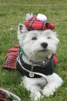 """Katy dressed for St. Westies and red plaid always look smashing! Pitbull Terrier, Le Terrier, White Terrier, Terrier Mix, West Highland Terrier, Highlands Terrier, Cute Puppies, Cute Dogs, Dogs And Puppies"