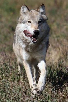 Let Me Be. Free. Save the Wolves.